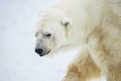 Polar bear. Polar bear is a typical inhabitant of the Arctic. The polar bear is the largest representative of all group of predatory royalty free stock photos