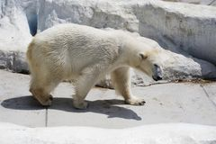 Polar bear. Royalty Free Stock Image