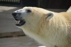 Polar Bear At Ueno Zoo Tokyo Japan stock image