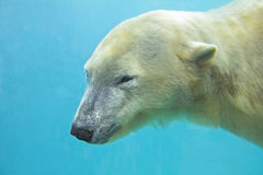 Polar bear underwater Stock Images