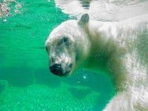 Polar Bear Underwater. Arctic Polar Bear swimming underwater Royalty Free Stock Photography