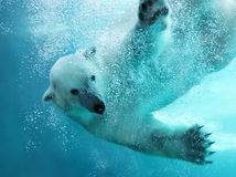 Polar bear underwater attack. Polar bear attacking underwater with full paw blow details showing the extended claws, webbed fingers and lots of bubbles - bear