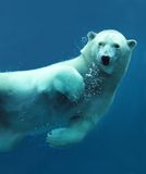 Polar bear underwater close-up. Close-up of a swimming polar bear underwater looking at the camera Royalty Free Stock Images