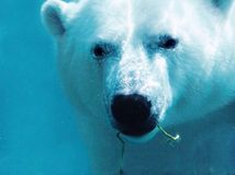 Polar bear underwater with plant close-up Royalty Free Stock Photo