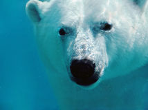 Polar bear underwater portrait Royalty Free Stock Images