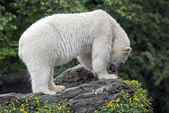 Polar bear 12 Stock Photography