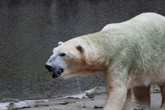Polar Bear Up Close Look at His Face and More Stock Image