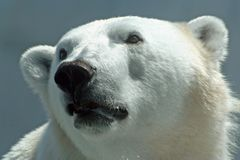 Polar Bear (Ursus maritimus). A polar bear (Ursus maritimus) puts on its best puppy eyes Stock Photography