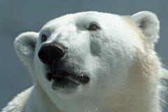 Polar Bear (Ursus maritimus). A polar bear (Ursus maritimus) puts on its best puppy eyes stock photography