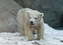 Polar bear, Ursus maritimus Stock Photos