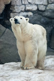 Polar bear, Ursus maritimus Royalty Free Stock Images
