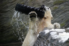 Polar Bear, Ursus maritimus Stock Images