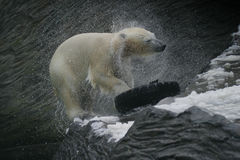 Polar Bear, Ursus maritimus Royalty Free Stock Photography