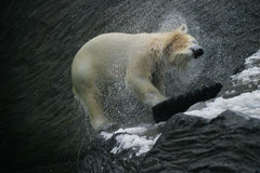 Polar Bear, Ursus maritimus Stock Photo