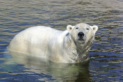 Polar bear, ursus maritimus Royalty Free Stock Photos