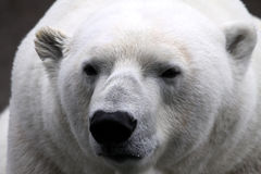 Polar Bear (Ursus maritimus). The Polar Bear is the largest land carnivore of the world Royalty Free Stock Image