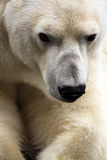 Polar Bear (Ursus maritimus) Stock Images
