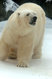 Polar bear - (Ursus maritimus). Polar bear bypasses the territory in searches of food royalty free stock image