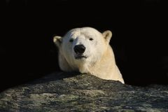 Polar bear (Ursus maritimus). The polar bear (Ursus maritimus) is the world's largest bear and native to the Arctic, the Arctic Ocean, and its surrounding seas Stock Images