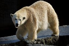 Polar bear (Ursus maritimus). The polar bear (Ursus maritimus) is the world's largest bear and native to the Arctic, the Arctic Ocean, and its surrounding seas stock photography