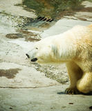 Polar Bear - Ursus maritimus Royalty Free Stock Photography
