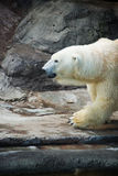 Polar Bear - Ursus maritimus Royalty Free Stock Image