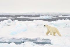 Polar Bear (Ursus maritimus) adult. Walkin on melting icefloe, floe edge, Baffin Bay, Nunavut, Canada royalty free stock photos