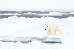 Polar Bear (Ursus maritimus) adult Royalty Free Stock Photography