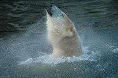 Polar Bear (Ursus maritimus) bath. A Polar Bear took a bath in Copenhagen Zoo, Denmark stock image