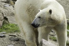 Polar Bear portret white close up. royalty free stock images
