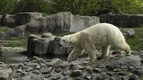 Polar Bear portret white close up. royalty free stock photography