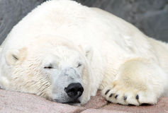 Polar bear ( Ursus maritimus ). Close up image Stock Images