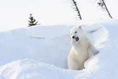 Polar bear (Ursus maritimus) cub coming out den. And playing around, Wapusk national park, Canada royalty free stock photo