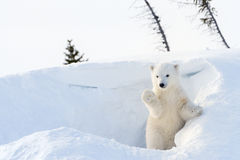Polar bear (Ursus maritimus) cub coming out den. And playing around, Wapusk national park, Canada Stock Photography