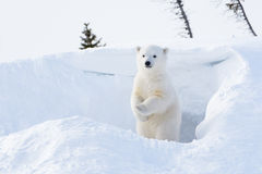 Polar bear (Ursus maritimus) cub Stock Images