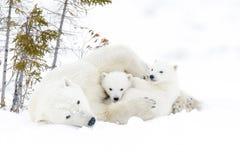 Polar bear (Ursus maritimus) with cubs. Polar bear mother (Ursus maritimus) with two cubs, Wapusk National Park, Manitoba, Canada royalty free stock image