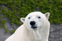 Polar bear (ursus maritimus) Royalty Free Stock Images
