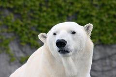 Polar bear (ursus maritimus) Royalty Free Stock Images