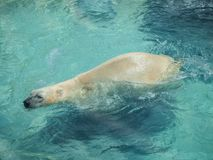 Polar Bear Ursus Maritimus Swimming at NC Zoo. The polar bear Ursus maritimus is a hypercarnivorous bear whose native range lies largely within the Arctic Circle royalty free stock photos