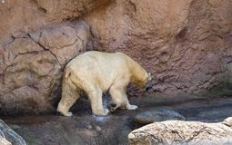 Polar Bear (Ursus Maritimus) at NC Zoo. The polar bear (ursus maritimus) is a hypercarnivorous bear whose native range lies largely within royalty free stock images