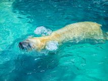 Polar Bear Ursus Maritimus Swimming at NC Zoo. The polar bear Ursus maritimus is a hypercarnivorous bear whose native range lies largely within the Arctic Circle royalty free stock photography