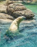 Polar Bear Ursus Maritimus Swimming at NC Zoo. The polar bear Ursus maritimus is a hypercarnivorous bear whose native range lies largely within the Arctic Circle stock photos