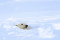 Polar bear (Ursus maritimus)looking out freshly opened den, Stock Images