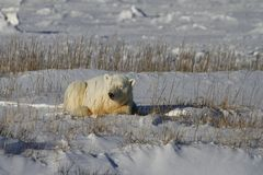 Polar Bear, Ursus Maritimus, lying down between grass and snow, near the shores of Hudson Bay royalty free stock photos