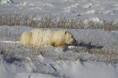 Polar Bear, Ursus Maritimus, lying down between grass and snow, near the shores of Hudson Bay. Churchill, Manitoba, Canada stock photography