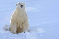 Polar bear (Ursus maritimus). Mother coming out freshly opened den with backlight, Wapusk national park, Canada stock image