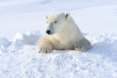 Polar bear (Ursus maritimus) Royalty Free Stock Photo