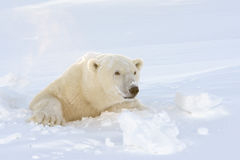 Polar bear (Ursus maritimus). Mother looking out freshly opened den, Wapusk national park, Canada royalty free stock photo