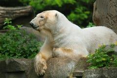 The polar bear Stock Photos