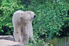 The polar bear Royalty Free Stock Photo
